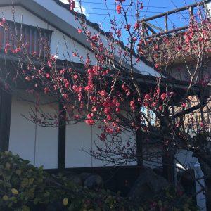 <p>入り口付んい植えられている紅梅のつぼみが開き始めました。これからが楽しみです。</p>