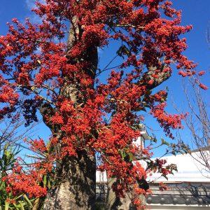 <p>こちらはクロガネモチです。赤の実が鮮やかで綺麗です。たまに鳥が実を啄ばみにやってきます。</p>