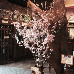<p>明治蔵入り口に立派な桜がやってきました!</p>